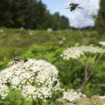 Flygande insekt