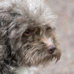 En långhårig Millie