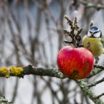 Blåmes som festar på ett äpple