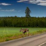Älg på vägen innan Skellefteå